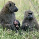 Olive baboon / Anubis baboons (Papio anubis) family with suckling baby, Lake Nakuru National Park, Kenya, East Africa