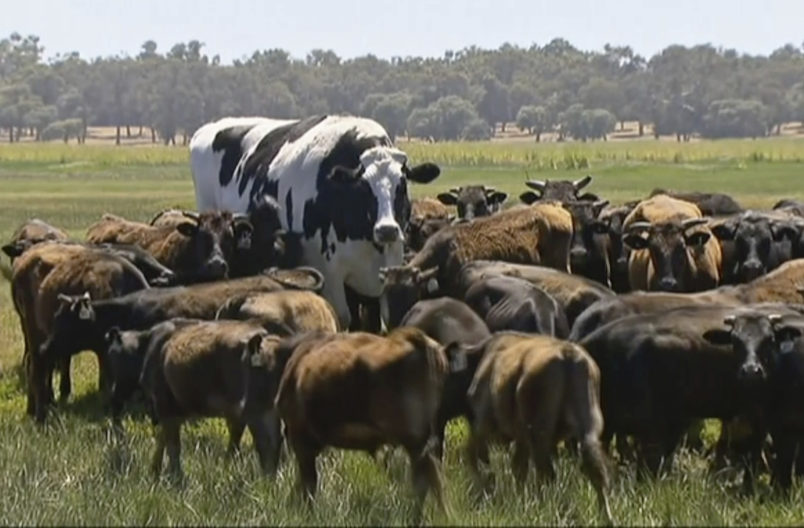 Colossal Cow Too Beefy To Become Burgers